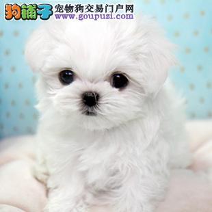 广州专业繁殖出售纯种马尔济斯犬 可签订协议