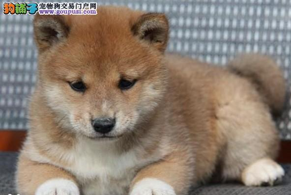 赛级柴犬幼犬,金牌店铺假一赔十,签订活体协议