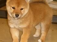 颜色全品相佳的柴犬纯种宝宝热卖中国外引进假一赔百