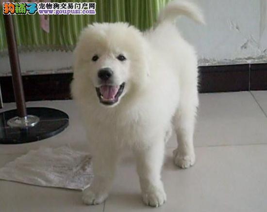 高大威猛的大白熊幼犬出售