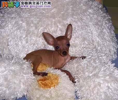 贵州哪里有小鹿犬卖 小鹿犬多少钱 贵州宠物狗狗买卖
