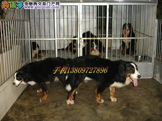 贵州哪里有伯恩山犬卖 贵州伯恩山犬多少钱