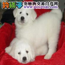 新疆哪里有大白熊卖 新疆大白熊多少钱
