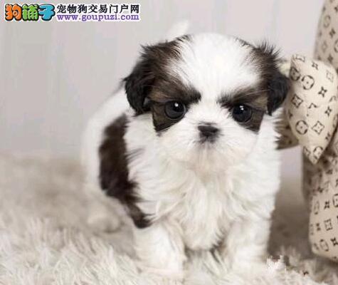 新疆哪里有西施犬卖 新疆西施犬多少钱 新疆宠物狗狗