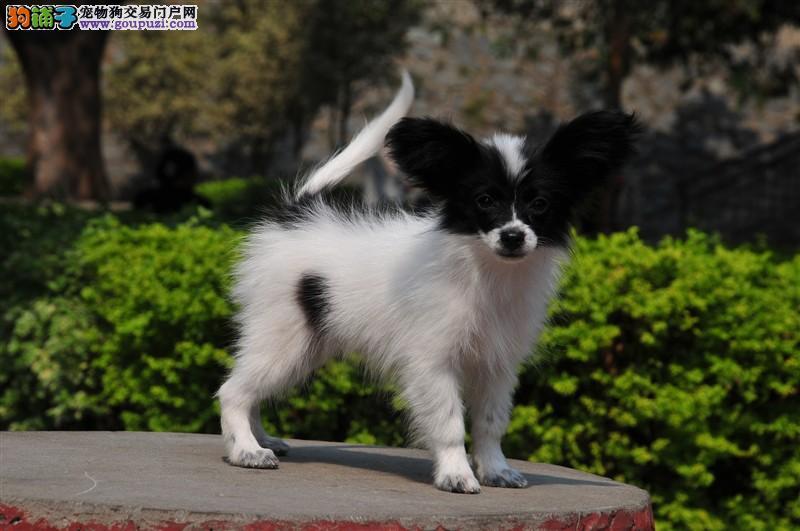 漂亮可爱的纯种蝴蝶犬出售 实体店