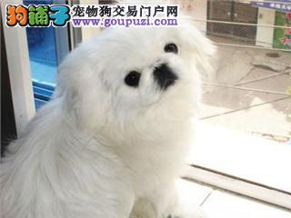 精品京巴幼犬一对一视频服务买着放心期待来电咨询