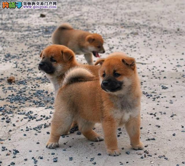 黑龙江哪里有柴犬黑龙江柴犬最低多少钱