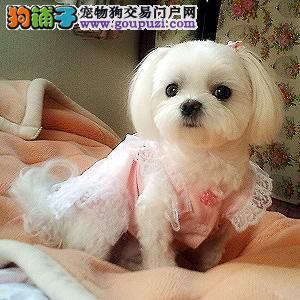极品京巴幼犬 CKU品质绝对保证 三年质保协议