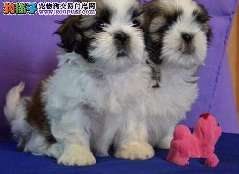 青海哪里有西施犬卖 青海西施犬多少钱 青海宠物狗狗