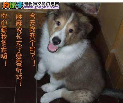 青海哪里有苏牧卖 青海苏牧最低多少钱 青海宠物狗狗