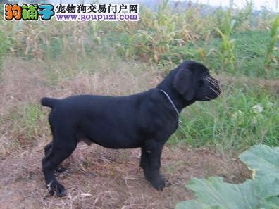 吉林哪里有卡斯罗卖 吉林卡斯罗犬多少钱 吉林宠物狗狗