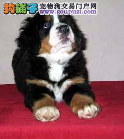 吉林哪里有伯恩山犬卖 吉林伯恩山犬多少钱