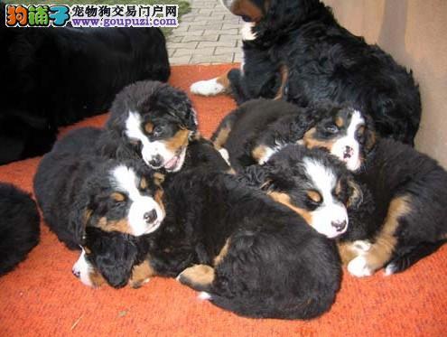 长沙哪里有卖伯恩山的 长沙伯恩山幼犬多少钱一只