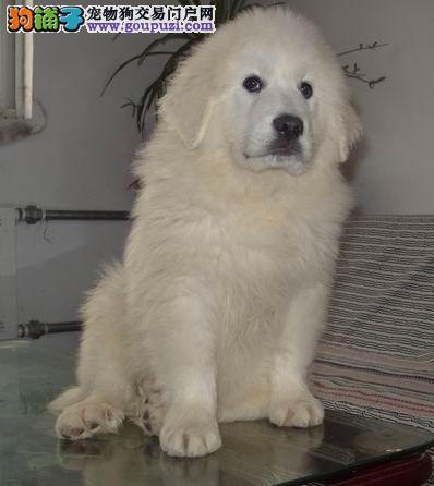 长沙哪里有卖大白熊的 长沙大白熊幼犬多少钱一只