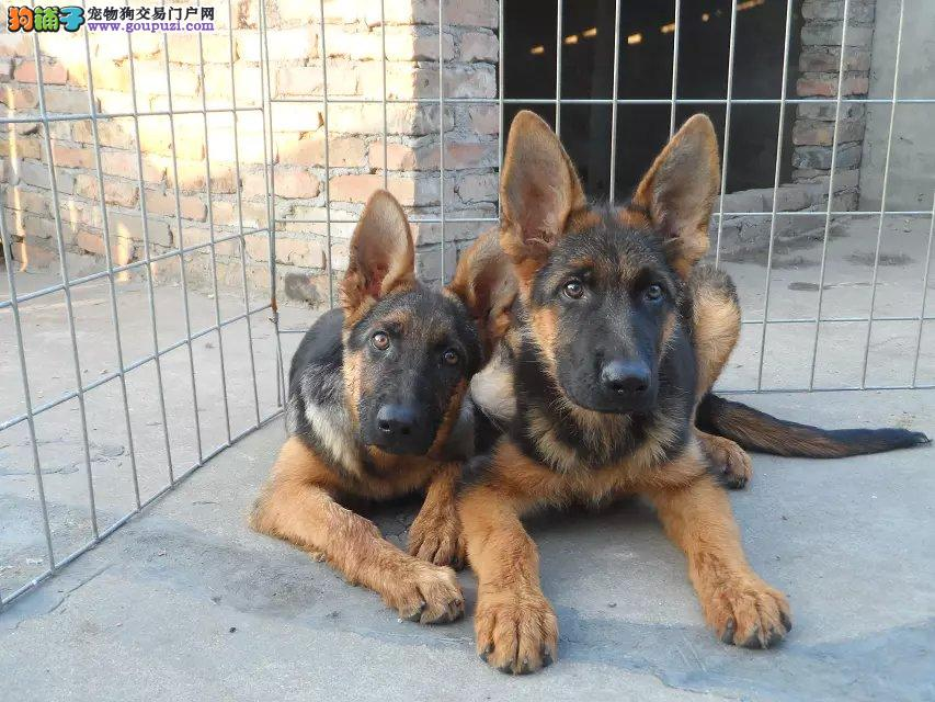 长沙哪里有卖狼狗的 长沙狼狗幼犬多少钱一只