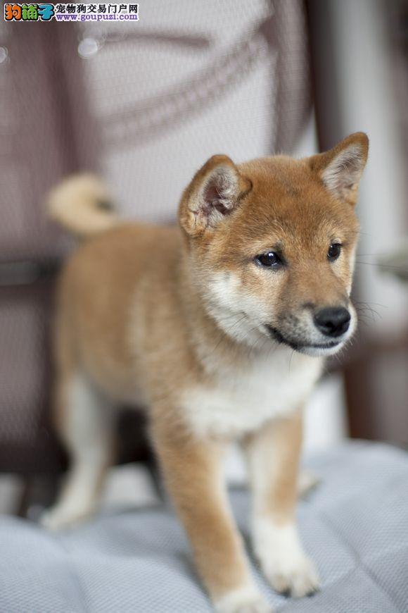 纯种日本柴犬专业犬舍购犬签订协议