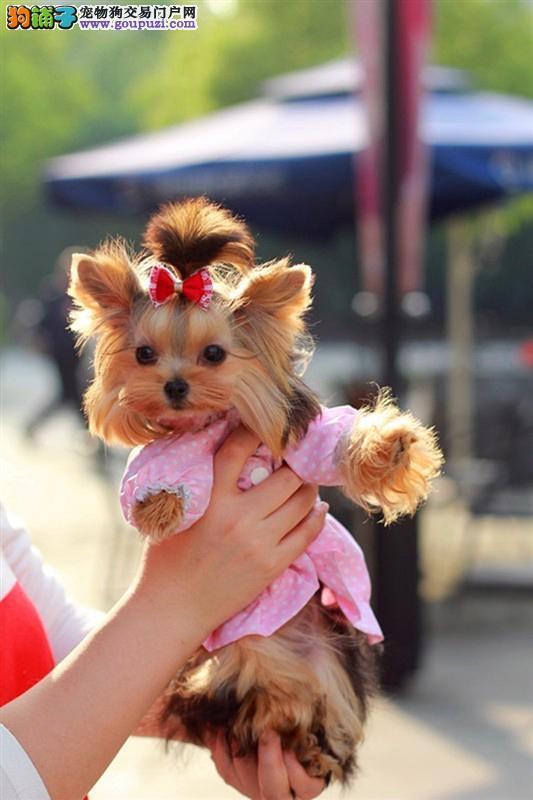 基地直销极品约克夏犬 保健康保纯种 签售后协议
