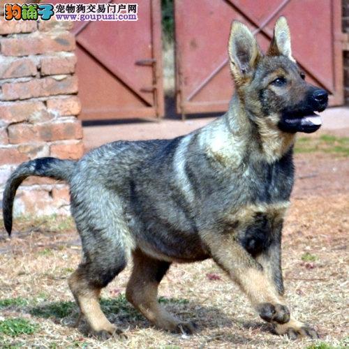自家狗场繁殖直销昆明犬幼犬签订终身纯种健康协议