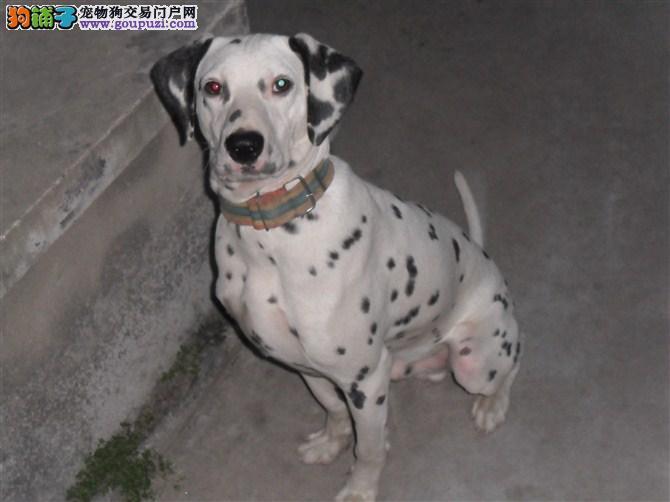 正规犬舍繁殖纯种斑点狗狗,可以视频看狗
