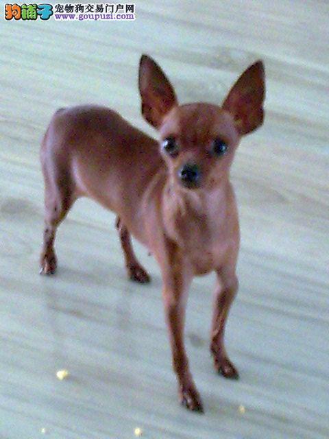 纯种小鹿犬,实物拍摄 随时可以上门看狗