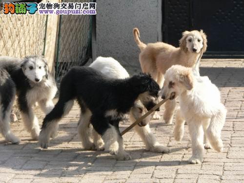 顶级优秀的纯种阿富汗猎犬热卖中喜欢来电咨询