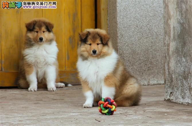 纯种苏木犬,正规繁殖基地,出售幼崽,可视频看狗