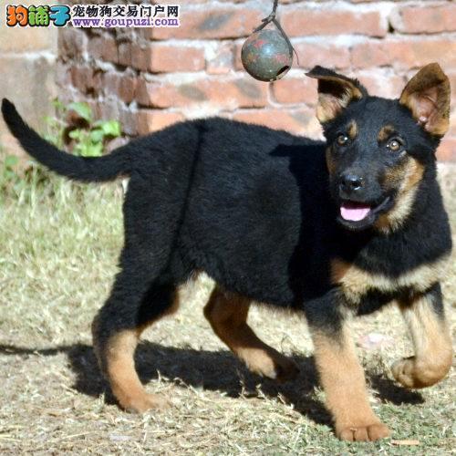 济南知名犬舍出售多只赛级昆明犬签署质保合同