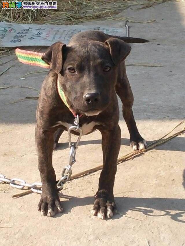 100%纯种健康的郑州比特犬出售优惠出售中狗贩子勿扰