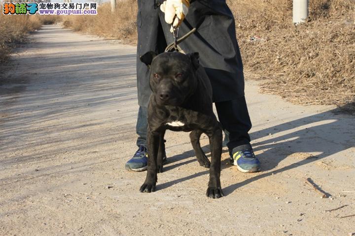 国外引进纯比特犬,纯度第一品质第一,可送货上门