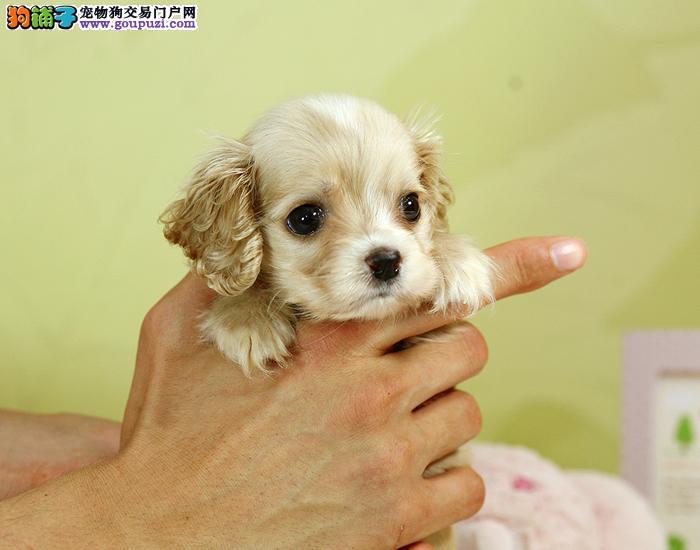 小豆丁宠物出售纯种英国可卡犬、美国可卡犬