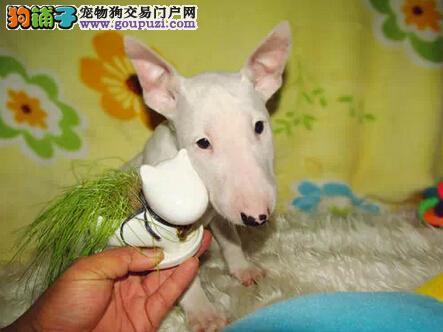 犬业售纯种牛头梗犬 CKU已认证 签活体协议 包养活