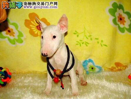 上海哪里有牛头梗卖,上海牛头梗多少钱