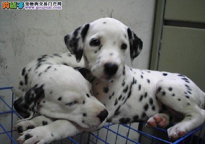 斑点狗狗,也叫大麦町犬,勇敢看家护院好手