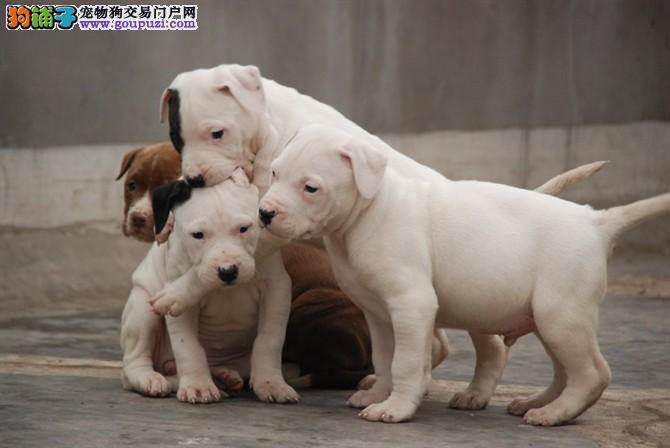 纯种杜高,正规繁殖基地出售幼犬。保纯种保健康