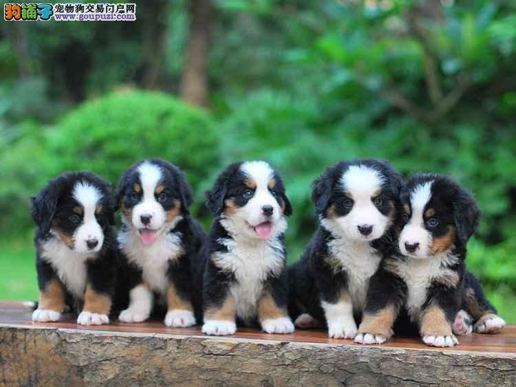 山地猛犬,纯种伯恩山,幼犬出售可以空运
