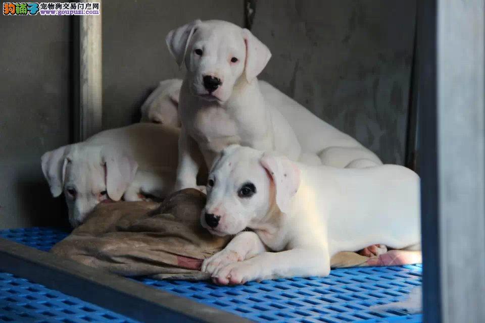 杜高猎犬,纯种签协议,可以空运售后保障,