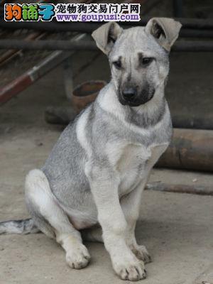 狼青幼犬出售可以签协议,售后保障,可以空运