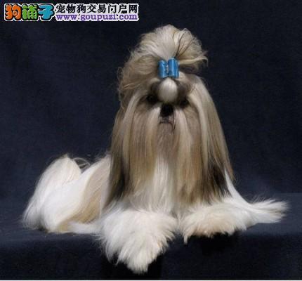 精品西施犬漂亮得体,聪明包纯种