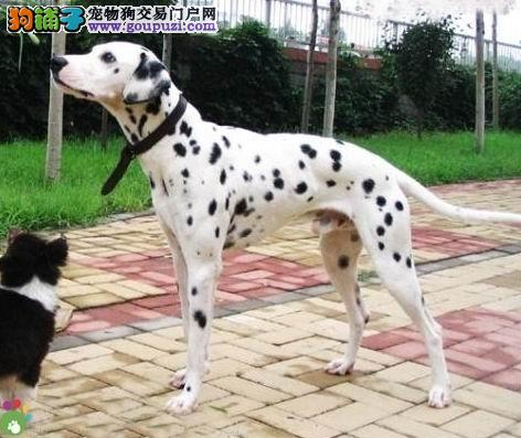 纯斑点狗,大麦町犬也叫,优美的体型,是你理想的选择