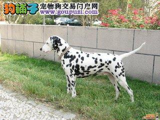 斑点犬 斑点犬舍 赛级斑点犬 疫苗证书齐全