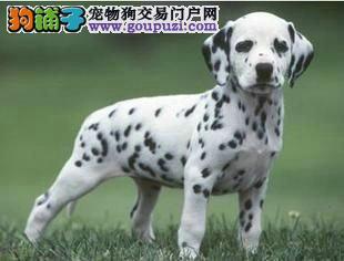 纯种斑点幼犬 健康保证三个月 签订协议