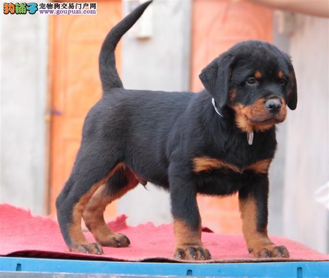 沉稳,极富感情罗威纳犬身体强壮,动作迅猛