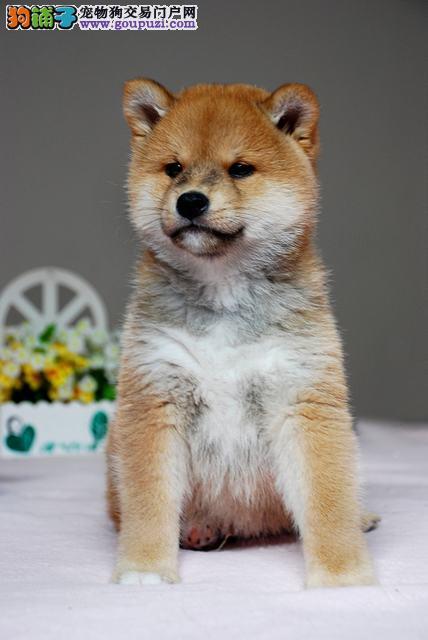 出售纯种健康的柴犬幼犬喜欢来电咨询