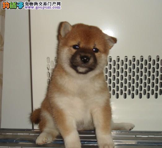 纯种柴犬直销 金牌店铺品质保障 专业信誉服务