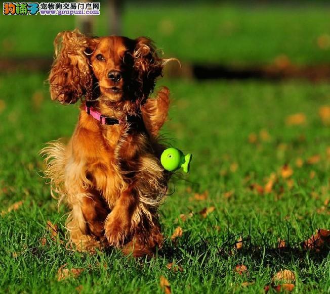 纯种可卡犬多只可选实体店看狗喜欢的朋友可以来看看啊