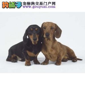 出售聪明伶俐腊肠犬品相极佳均有三证保障
