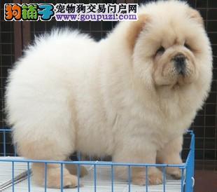 出售自家大狗生的纯种大肉嘴松狮 毛量足 活泼聪明