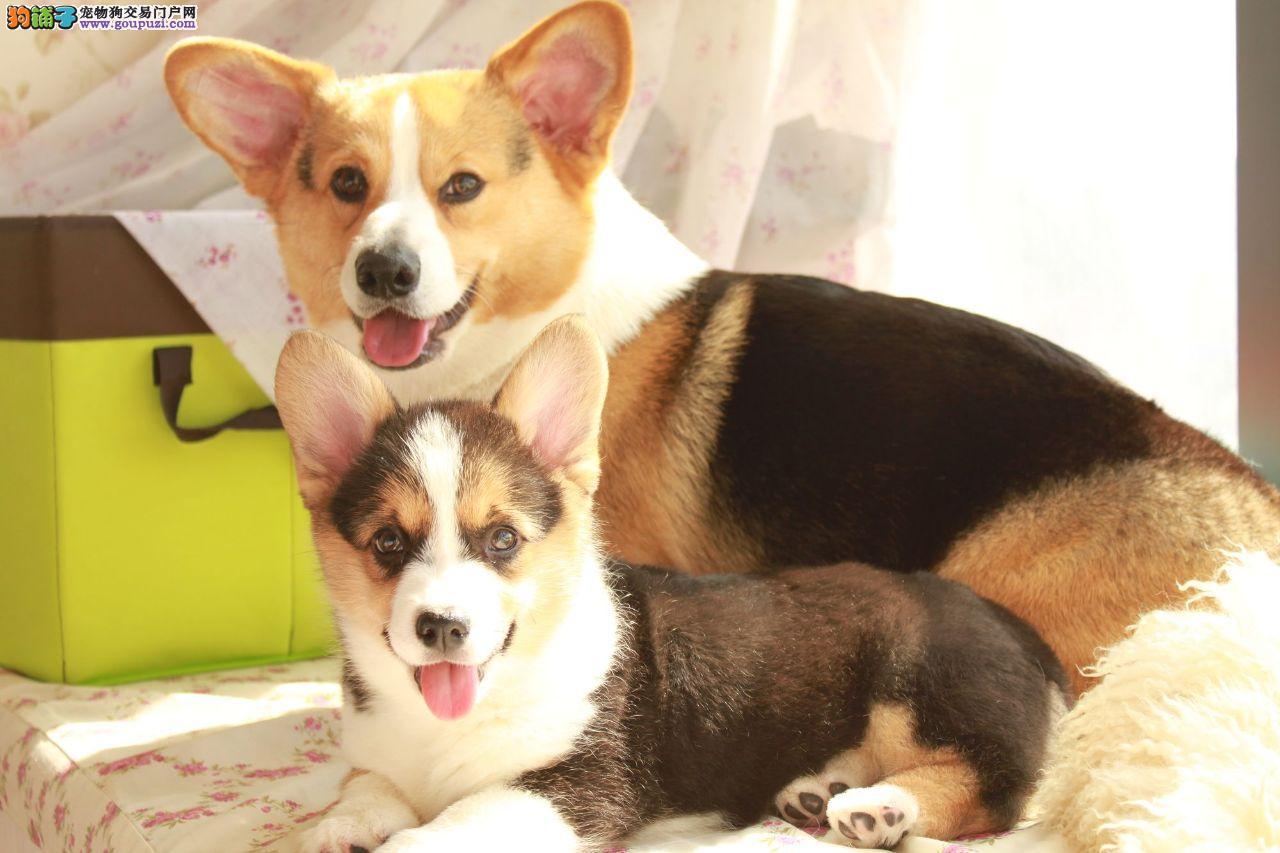 长沙出售自家繁殖柯基犬幼犬 保纯种 忠诚可爱