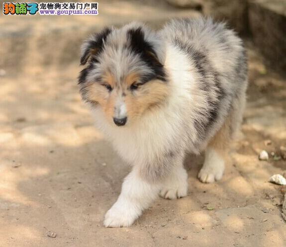北京苏格兰牧羊犬犬舍专业繁殖纯种健康苏格兰牧羊幼犬