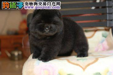 精品松狮幼犬,很憨厚,很可爱,毛茸茸,肉嘴、面包嘴